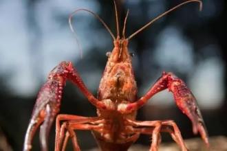 红红火火恍恍惚惚,细说小龙虾产业的缘起今生